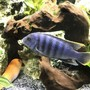 freshwater fish stocking in 60 gallons tank - Cobalt blue Zebra Cichlid