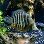 freshwater fish stocking in 150 gallons tank - Red shoulder severum