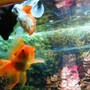 freshwater fish - carassius auratus - red oranda goldfish stocking in 26 gallons tank - My goldfishes. Sorry for the bad picture. I pamper them a lot and they have become little rascals. They dont stand still for the camera.