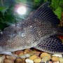 freshwater fish - glyptoperichthys gibbiceps - sailfin pleco (l-83) stocking in 72 gallons tank - Huge 19'' Pleco!!!