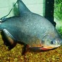 freshwater fish - colossoma brachypomus - pacu stocking in 55 gallons tank - 1 of my pacu's