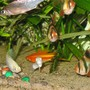 freshwater fish - puntius tetrazona - tiger barb stocking in 26 gallons tank - Tricolour Shark, Tiger, White Molly, Swordtail