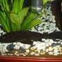 freshwater fish - glyptoperichthys gibbiceps - sailfin pleco stocking in 45 gallons tank - My pleco.