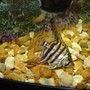 freshwater fish - pterophyllum sp. - silver zebra angel stocking in 110 gallons tank - ole red eye