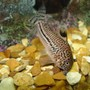 freshwater fish - corydoras sp. - false julii cory cat stocking in 110 gallons tank - my spotted cory cat