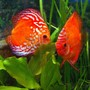 freshwater fish - symphysodon sp. - red marlboro discus stocking in 180 gallons tank - Pair of Marlboro Red Discus in a 100 Gallon tank. Approximately 6 inches high. THey have spawned several times but have failed to raise their young.