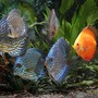 freshwater fish - symphysodon spp. - snakeskin discus stocking in 180 gallons tank - The extended Discuss family in their 150 Gallon Home