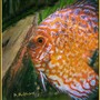 freshwater fish - symphysodon sp. - red marlboro discus stocking in 180 gallons tank - Marlboro Red tending to her egggs