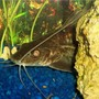 freshwater fish - pimelodus blochii - flat-nosed catfish stocking in 72 gallons tank - Pictus Catfish, Blochii