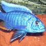 freshwater fish - sciaenochromis fryeri - electric blue hap stocking in 95 gallons tank - Sciaenochromis Fryeri Male