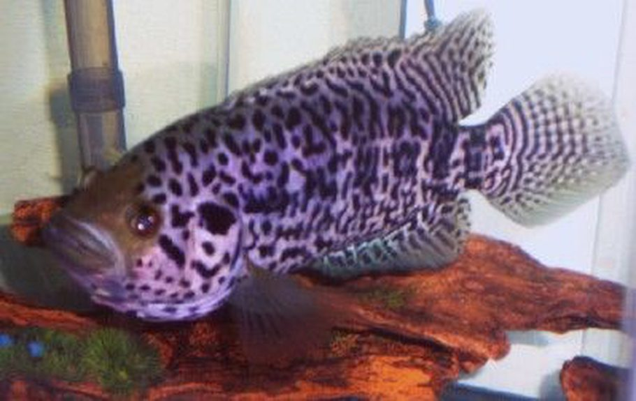 Crzycrlyred 39 s freshwater fish photo id 16804 full for Aggressive saltwater fish