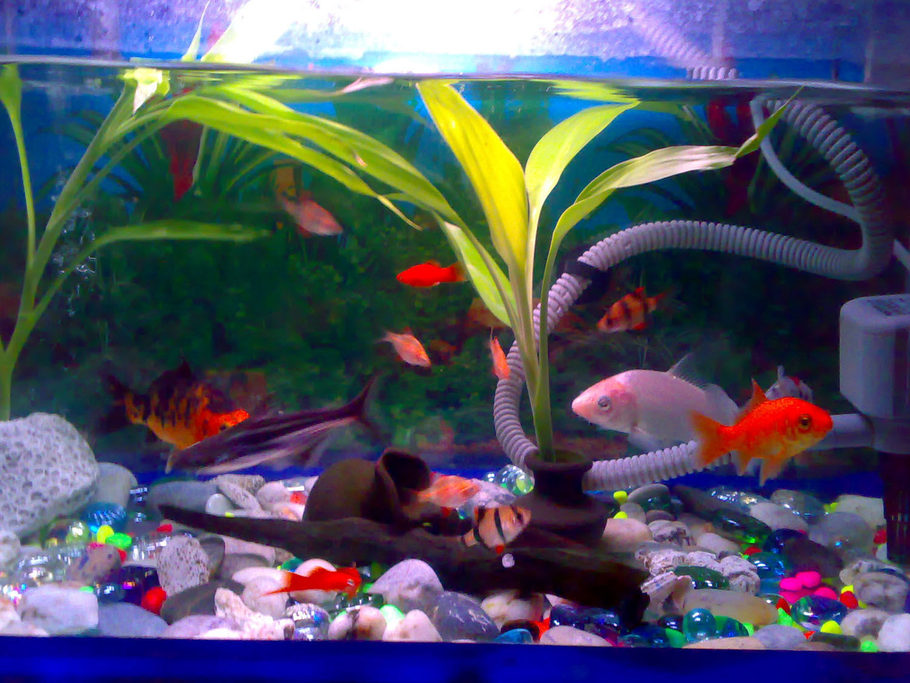 Swordtail fish tank mates for Koi fish aquarium