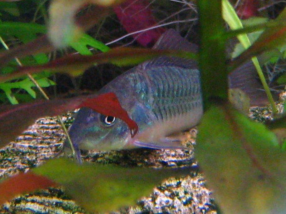 Bottom feeder fish for aquarium 1000 aquarium ideas for Bottom feeder aquarium fish