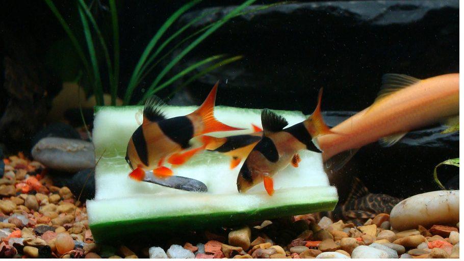 Bassdr17 39 s freshwater fish photo id 30551 full version for Freshwater clown fish