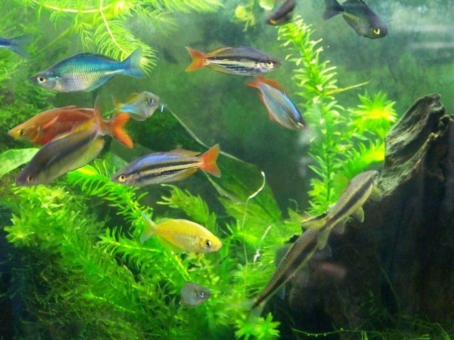 Australian Rainbow Melanotaenia Splendida Photos Ratemyfishtank Com