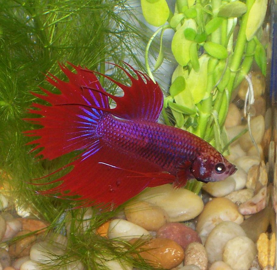 How to Deal with the Top Betta Fish Diseases | RateMyFishTank.com