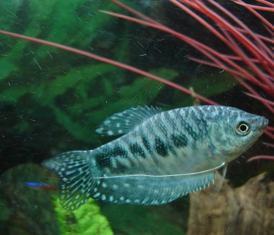 Tips for breeding gouramis in the home aquarium for Freshwater community fish