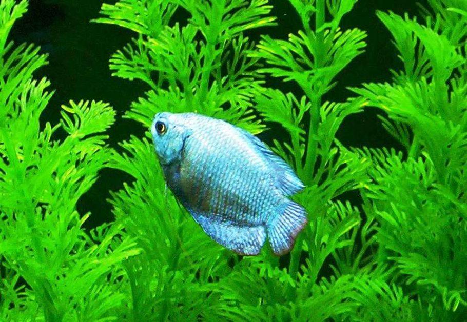 neon blue dwarf gourami - 910×628