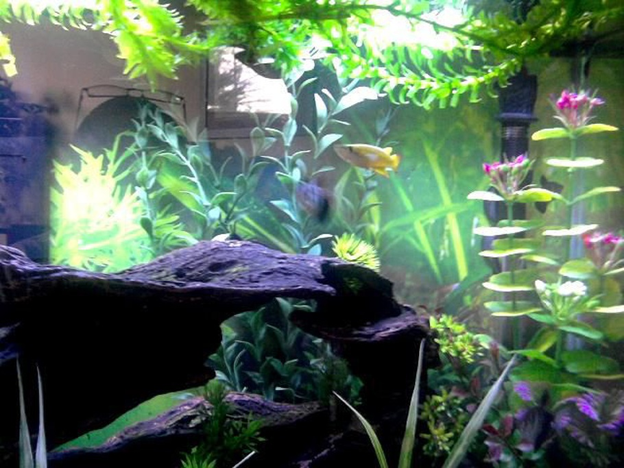 Freshwater fishless cycling for Best freshwater aquarium fish combination