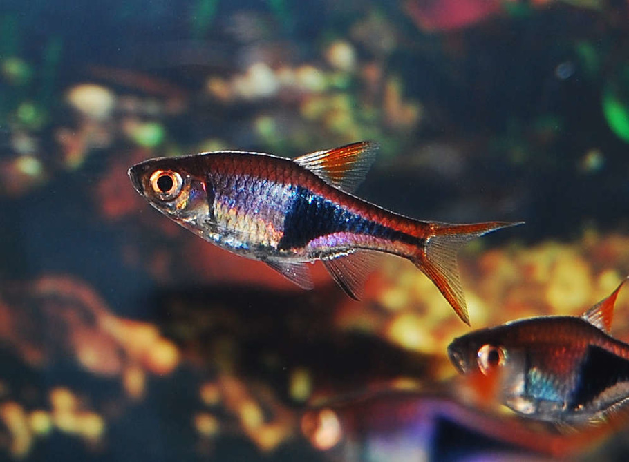Cultivating a healthy discus community tank for Most aggressive freshwater fish