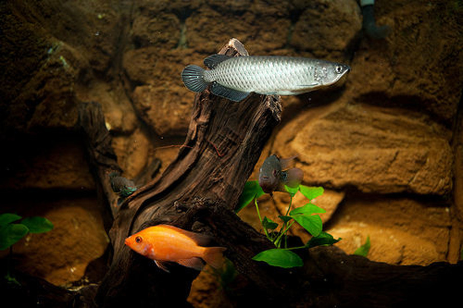 Species spotlight keeping arowanas in the freshwater tank for Arowana tank decoration