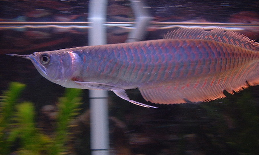 Species Spotlight: Keeping Arowanas in the Freshwater Tank ...