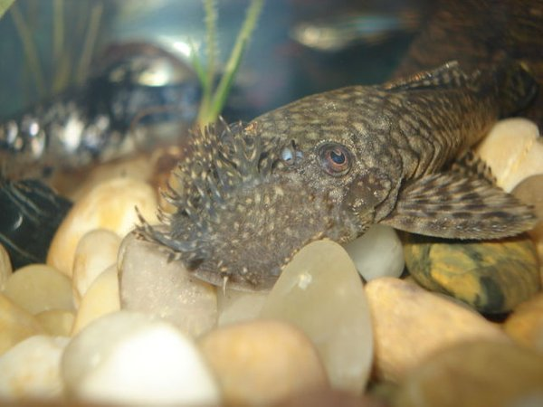 freshwater fish - peckoltia angelicus - angelicus pleco (l-05) stocking in 10 gallons tank - Bristle Nose Pleco