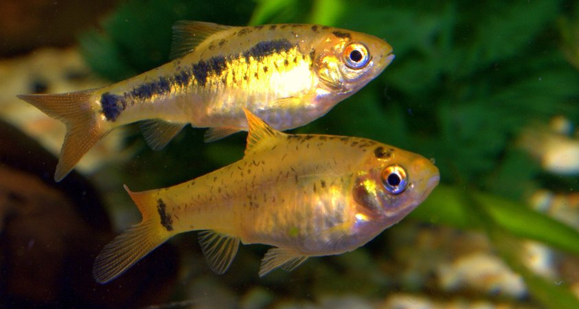 freshwater fish - puntius sachsii - gold barb stocking in 47 gallons tank - golden barbs