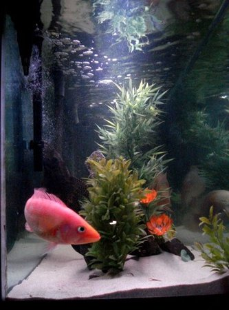 freshwater fish - petenia splendida - red bay snook stocking in 135 gallons tank - red snook