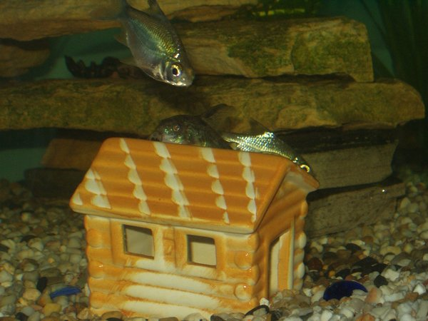 freshwater fish - barbus schwanefeldi - tinfoil red tail barb stocking in 240 gallons tank - my catfish asleep on his house with the tinfoil barb coming for a nose