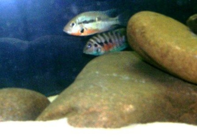 freshwater fish - thorichthys meeki - firemouth cichlid - New World Cichlids