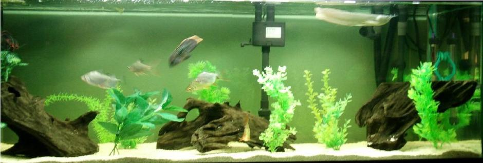freshwater fish - osteoglossum bicirrhosum - silver arowana stocking in 75 gallons tank - My south american fish tank