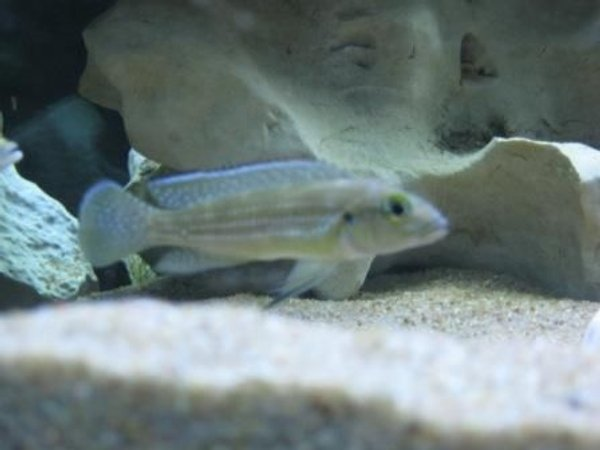 freshwater fish - neolamprologus tetracanthus - tetracanthus stocking in 75 gallons tank - Tetracanthus