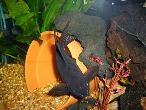 freshwater fish - mystus leucophasis - upside down cat, black stocking in 125 gallons tank - happy synodontis