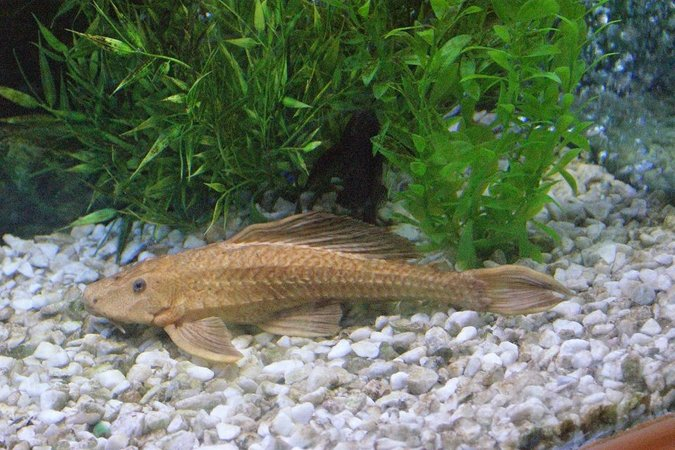 freshwater fish - glyptoperichthys scrophus - chocolate pleco stocking in 180 gallons tank - 14 inch chocolate pleco