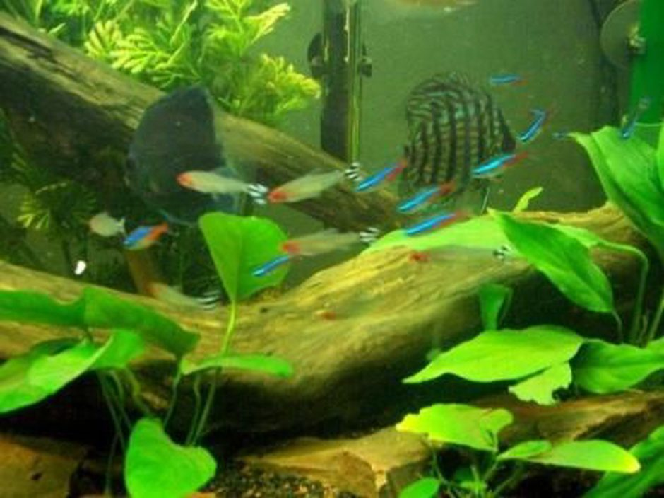 freshwater fish - hemigrammus bleheri - true rummynose tetra stocking in 55 gallons tank - some neon, and rummy nose tetras with discus in background