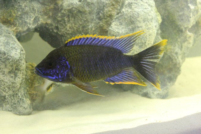 "freshwater fish - aulonocara sp. lwanda - red top lwanda stocking in 55 gallons tank - Aulonocara sp. ""Lwanda""
