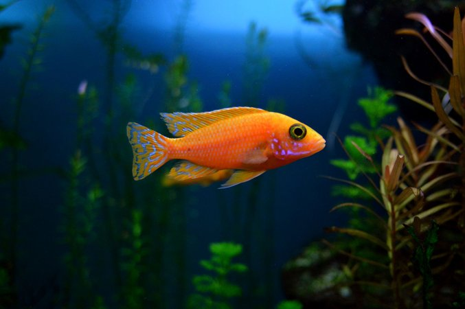 freshwater fish - aulonocara sp. - firefish black eye peacock stocking in 70 gallons tank - fire fish