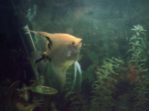 freshwater fish - assorted veil angel - pterophyllum scalare stocking in 35 gallons tank - one half of a mating pair blondie and carlsberg . blondie is the female angel and she and carlsberg go through their leaf cleaning routine prior to spawining every few weeks.