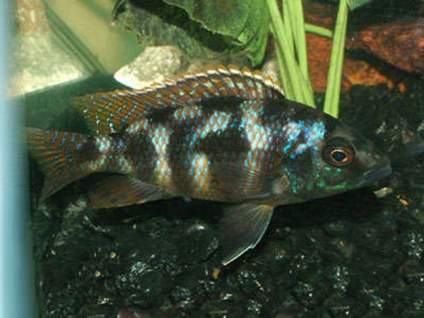 freshwater fish - cheilochromis euchilus - big-lipped cichlid stocking in 55 gallons tank - My name is Punk and Im a Big Lipped Cichlid. I got my name because I will punk you and have been the ill fate to many an unwanted rival so stay out of my way or else.