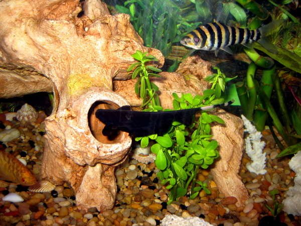 freshwater fish - apteronotus albifrons - black ghost knifefish stocking in 55 gallons tank - ghost, banded, gold gourami
