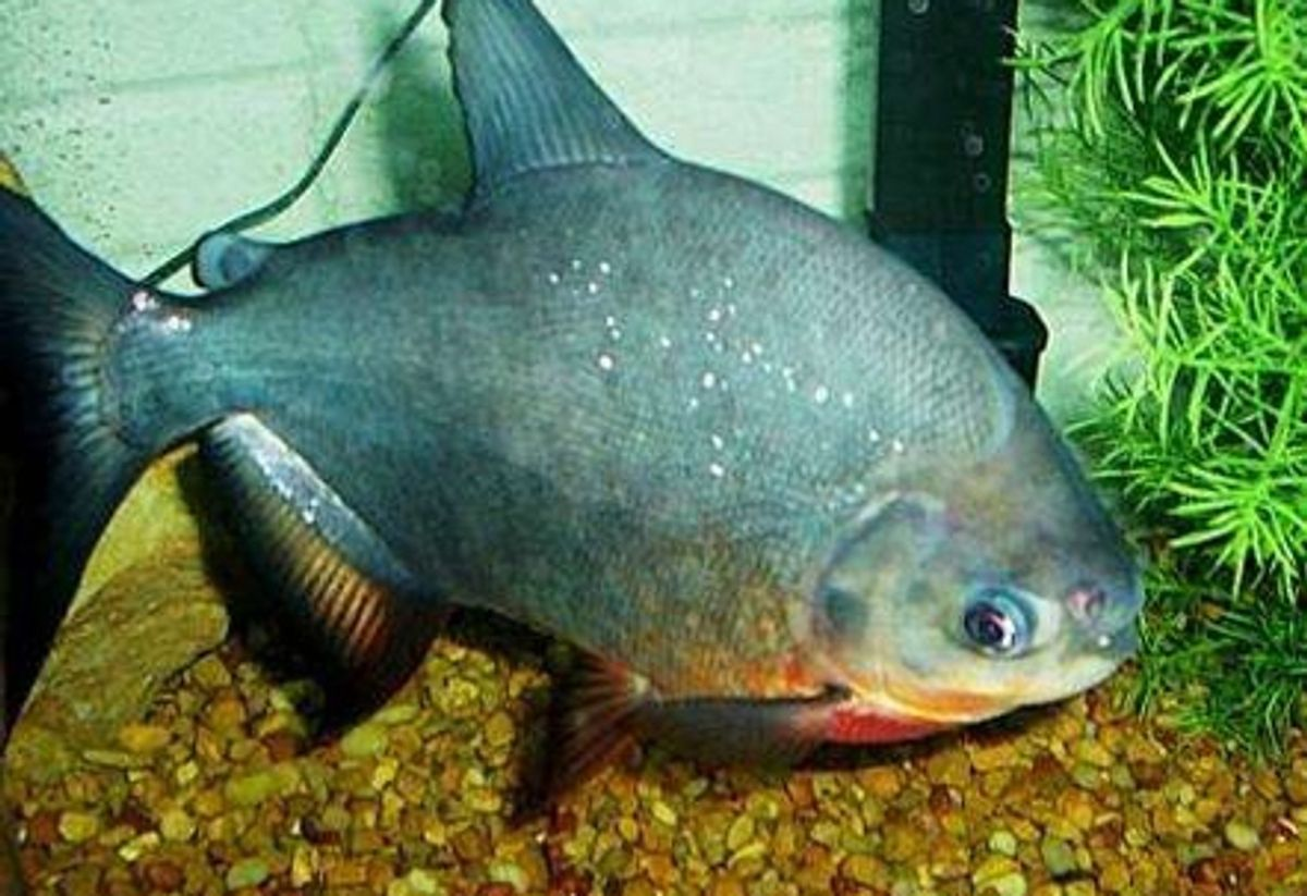 Cultivating a Tank for Red Bellied Pacus | RateMyFishTank com