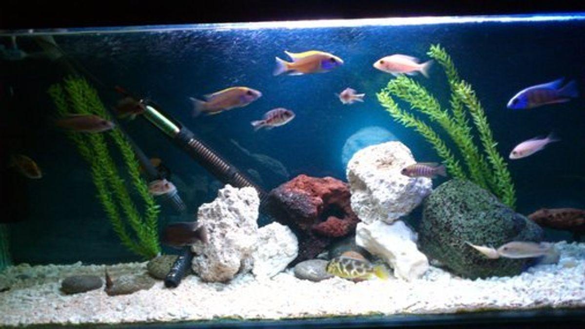 Stocking A Freshwater Fish Tank Ratemyfishtank Com
