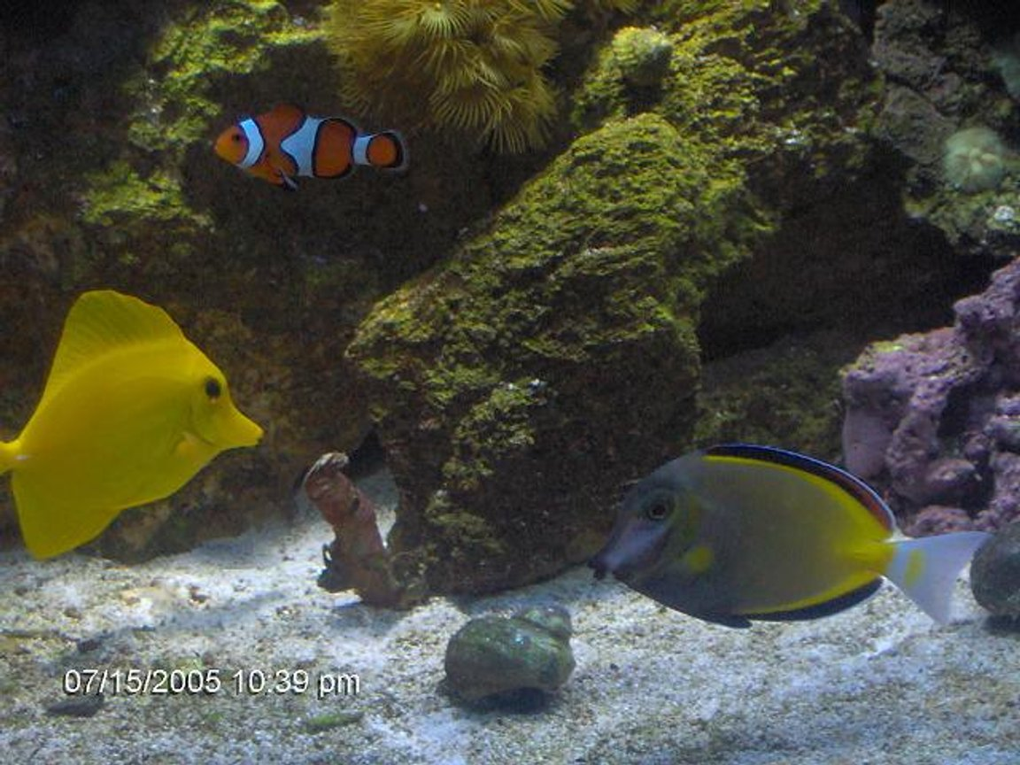saltwater fish - zebrasoma flavescens - yellow tang - hawaii stocking in 72 gallons tank - yello tang. powder brown tang clownfish