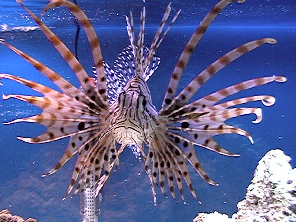 saltwater fish - pterois russelli - russell's lionfish stocking in 75 gallons tank