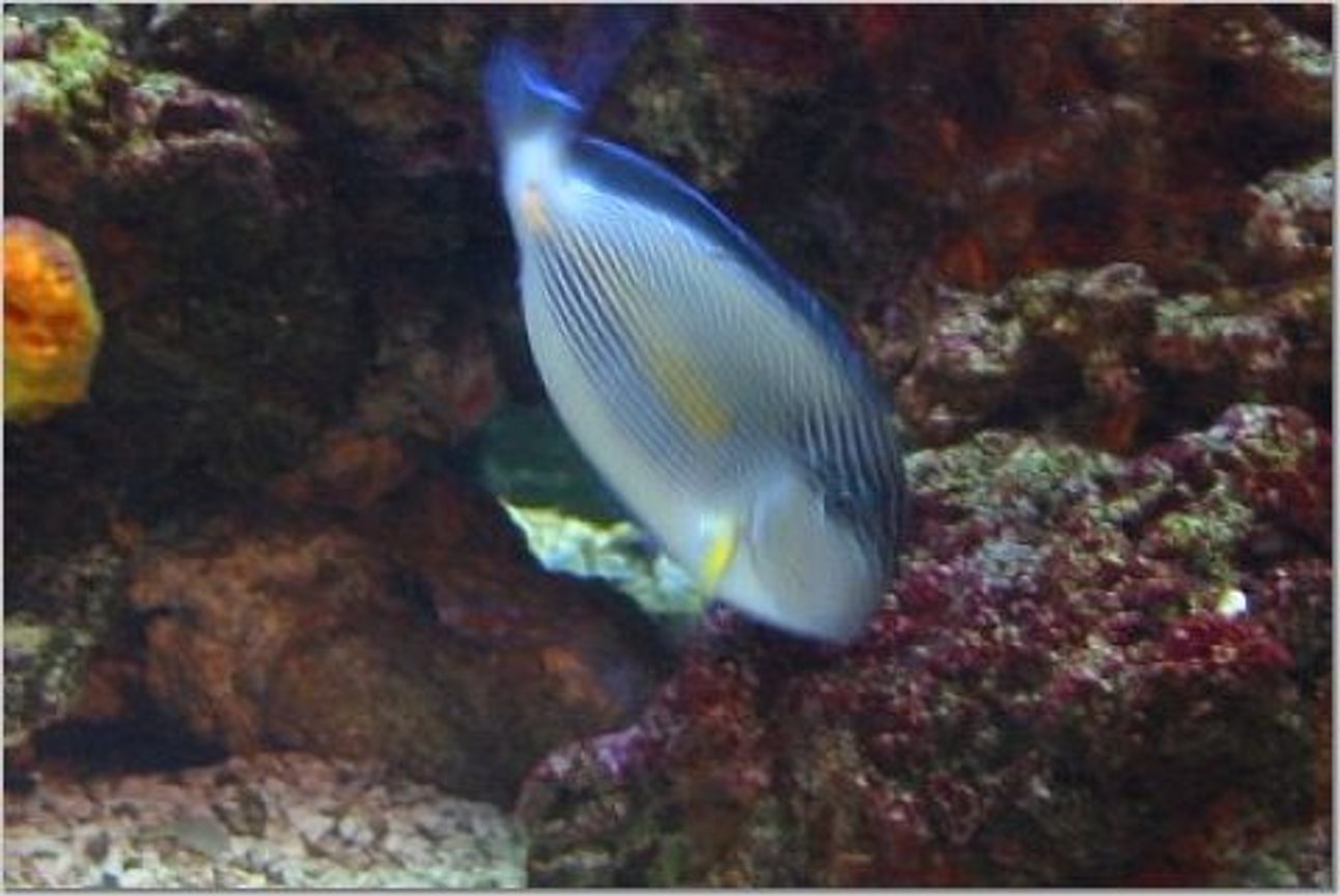 saltwater fish - acanthurus sohal - sohal tang stocking in 54 gallons tank - Here is my Sohal Tang munching on the Alga