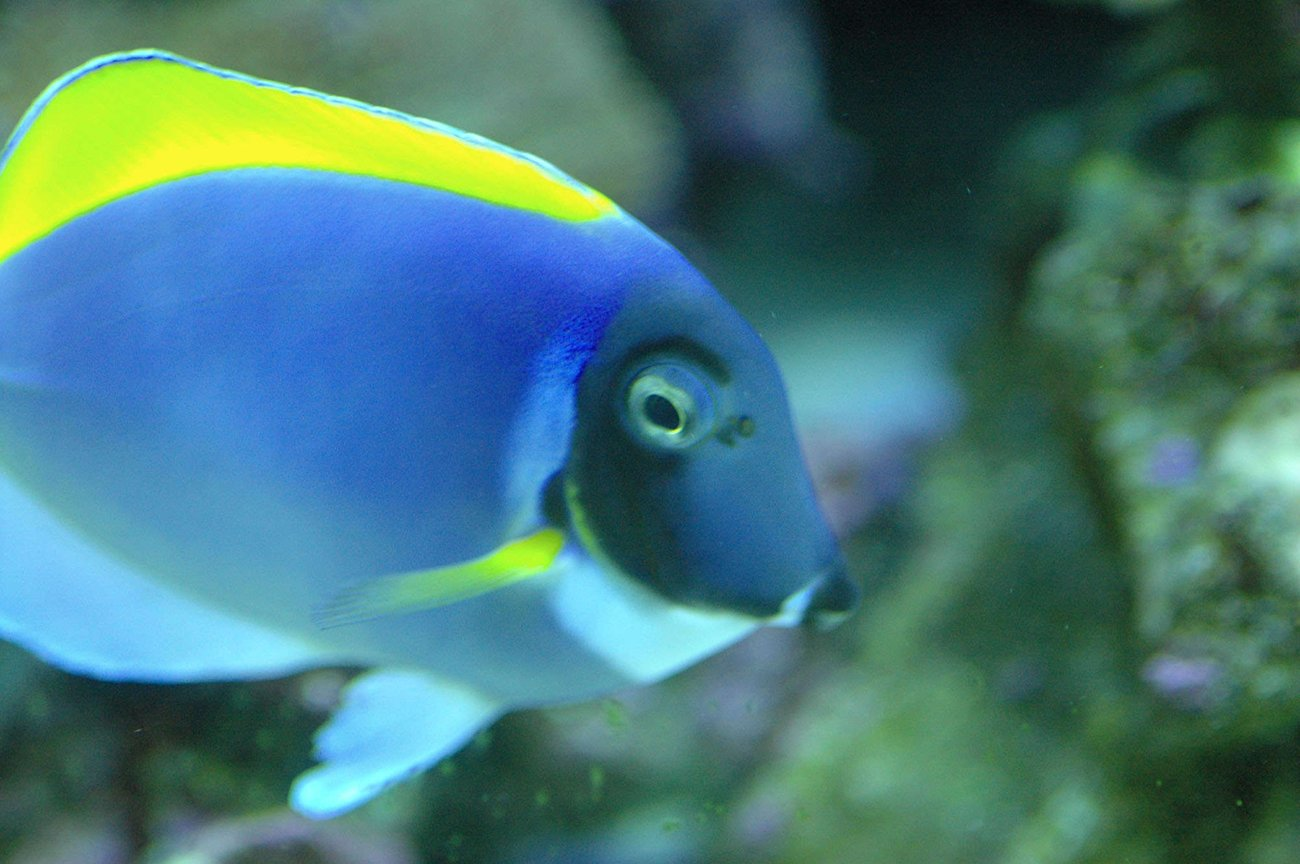 saltwater fish - acanthurus leucosternon - powder blue tang stocking in 180 gallons tank - Our powder blue...not the greatest one of him.