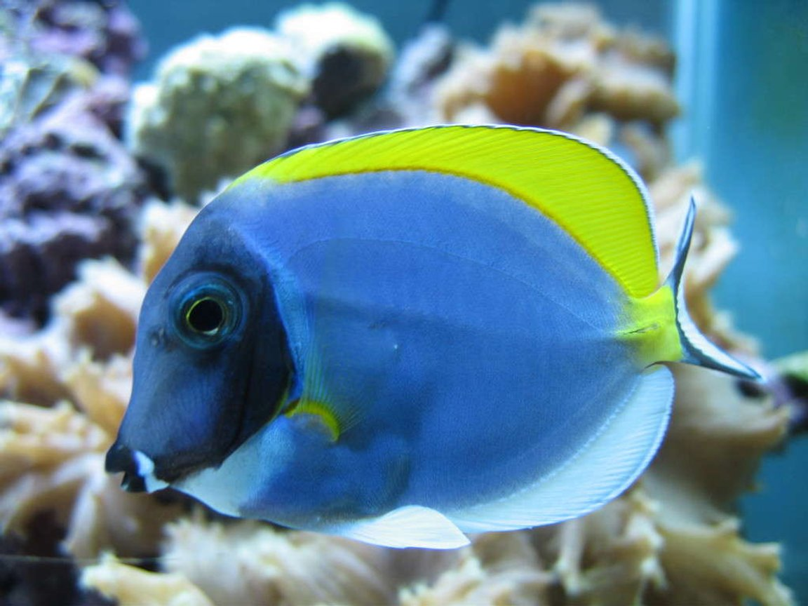 saltwater fish - acanthurus leucosternon - powder blue tang stocking in 160 gallons tank - Powder Blue Tang