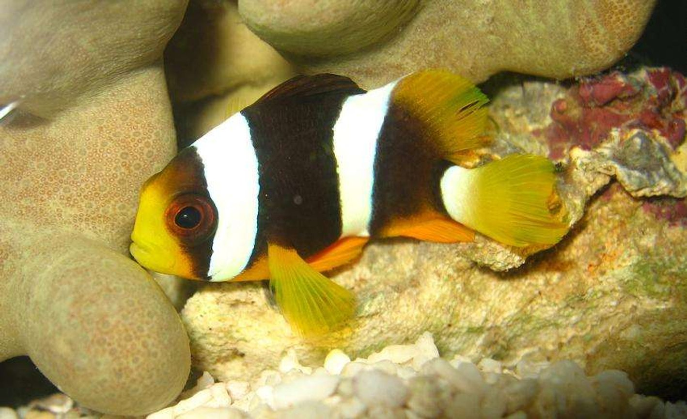 saltwater fish - amphiprion clarkii - clarkii clownfish stocking in 4 gallons tank - Clark's Clownfish (Amphiprion Clarkii)