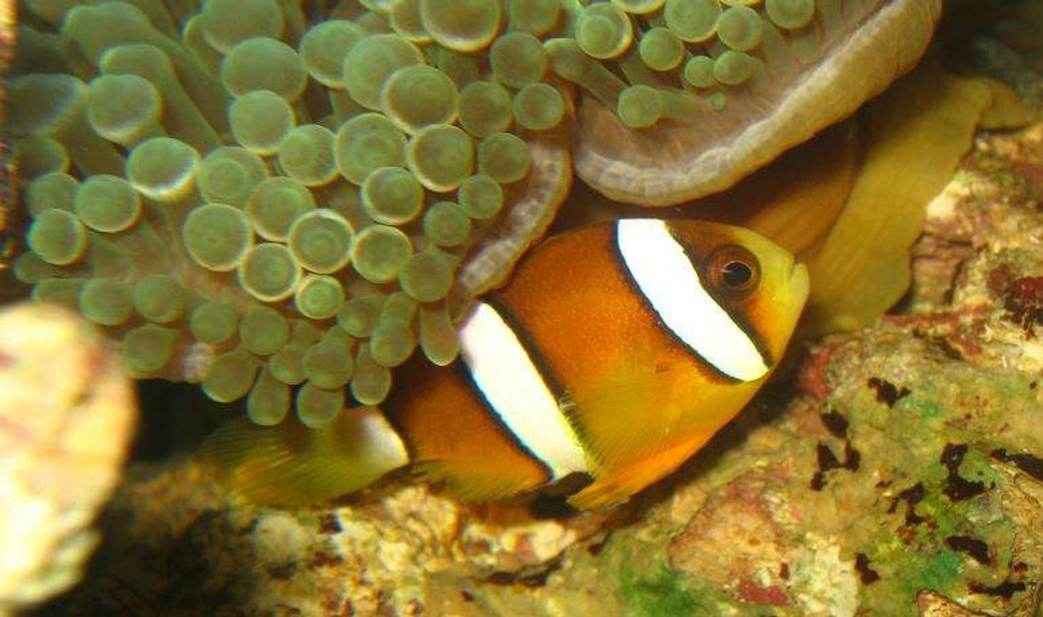 saltwater fish - amphiprion clarkii - clarkii clownfish stocking in 4 gallons tank - Maroon Clownfish